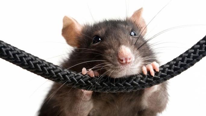 грызуны и кабель защитит ли гофра